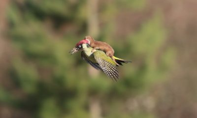 Baby Weasel Takes A Ride On Woodpecker's Back